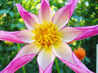 Star Dahlia Flower art prints Pink Dahlias Baslee