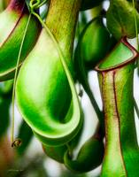 Tropical Pitcher Plant Nepenthes