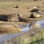 """Grey Seals"" by NatureandWildlife"