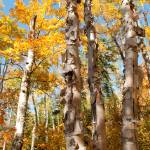 """Golden Birches"" by Trailheads"