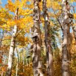 """""""Golden Birches"""" by Trailheads"""