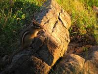 Chipmunk At Sunset