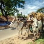 """Pollachi : bullock cart"" by AgniMax"