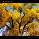 """Old Giant Golden Autumn Cottonwood"" by lightningman"