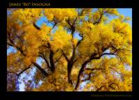 Old Giant Golden Autumn Cottonwood