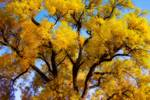 "Old Giant Golden Autumn Cottonwood Dream by James ""BO"" Insogna"