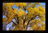 Old Giant Autumn Cottonwood  Poster