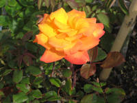 Double Toned Orange Rose
