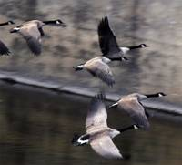 Canada geese on takeoff