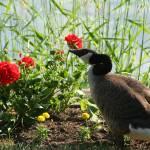 """Sunlite Goose"" by lostinaphoto"