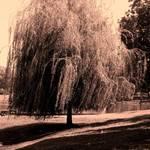 """""""Willow"""" by eflynn"""