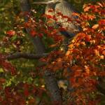 """Great Blue Heron in Red Maple by Jim Crotty"" by jimcrotty"