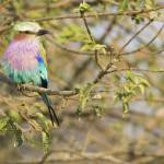 """lilac-breasted-roller3a 8x10"" by monaco"