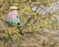 lilac-breasted-roller3a 8x10