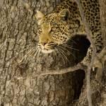 """""""leopard-climbing-down-tree2"""" by monaco"""