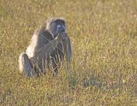Baboon-eating