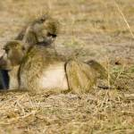 """baboons-grooming"" by monaco"