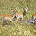 """lechwe-crossing-stream"" by monaco"
