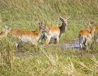 lechwe-crossing-stream