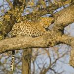 """leopard-in-tree7b 8x10"" by monaco"