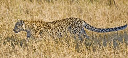 leopard-stalking2 panoramic
