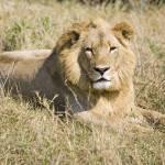 """lion8"" by monaco"
