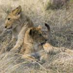 """""""lion-cubs8"""" by monaco"""