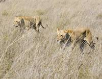 lionesses-walking1
