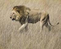 lion-walking4 8x10