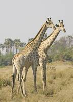 two-giraffes