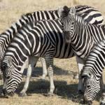 """""""zebras2"""" by monaco"""