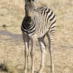 """""""zebra-baby"""" by monaco"""
