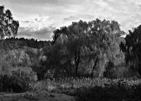 Willows Landscape In Black And White