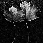 """Two Maple Leaves In Black And White"" by bavosiphotoart"