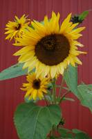 Sunflower with Red