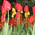 """tulips 006"" by yvonneayoub"