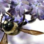 """Bumble Bee on Russian Sage"" by jasonscottmeans"