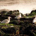 """3 Gulls"" by tom-macpherson"