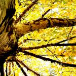 """Yellow Birch 3"" by Juliec21"