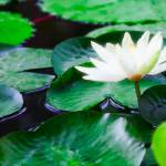 """White Waterlily"" by johncorney"