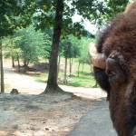 """buffalooo"" by cvintinner"