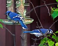 Blue Jays at the Bird Feeder