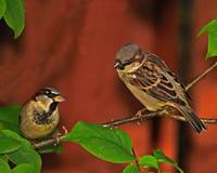 Just Two Male House Sparrows