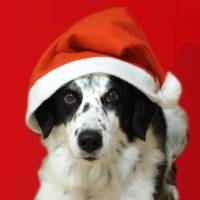 Christmas dog with hat Art Prints & Posters by Lindsey Janich