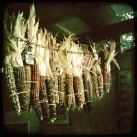 Hanging Corn Cobs