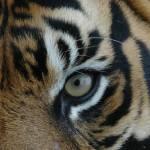 """Tiger Eye"" by kentsmudger"