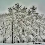 """Snow Trees  HDR"" by tom-macpherson"