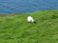 Irish sheep on a hillside