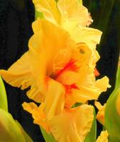 Sunshine Yellow Gladiolas 275
