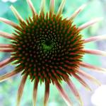 """Young coneflower"" by cinsings"